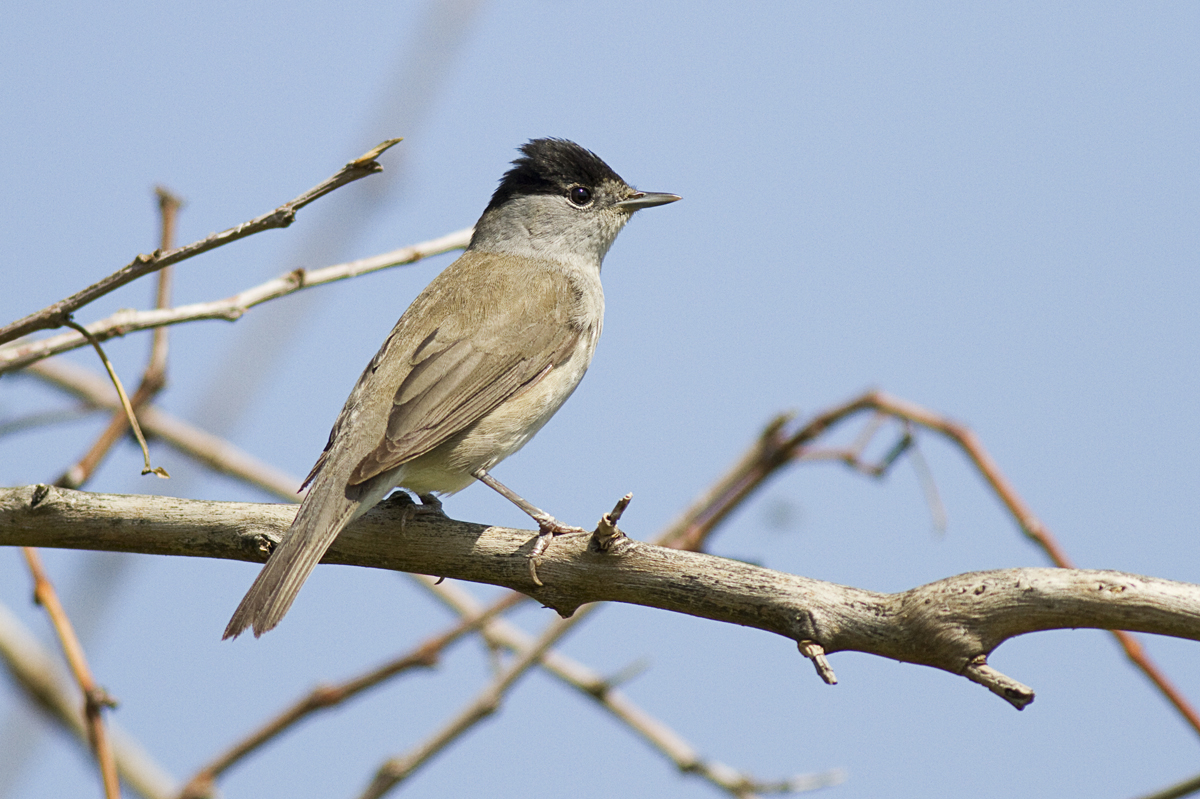 Blackcap - Male