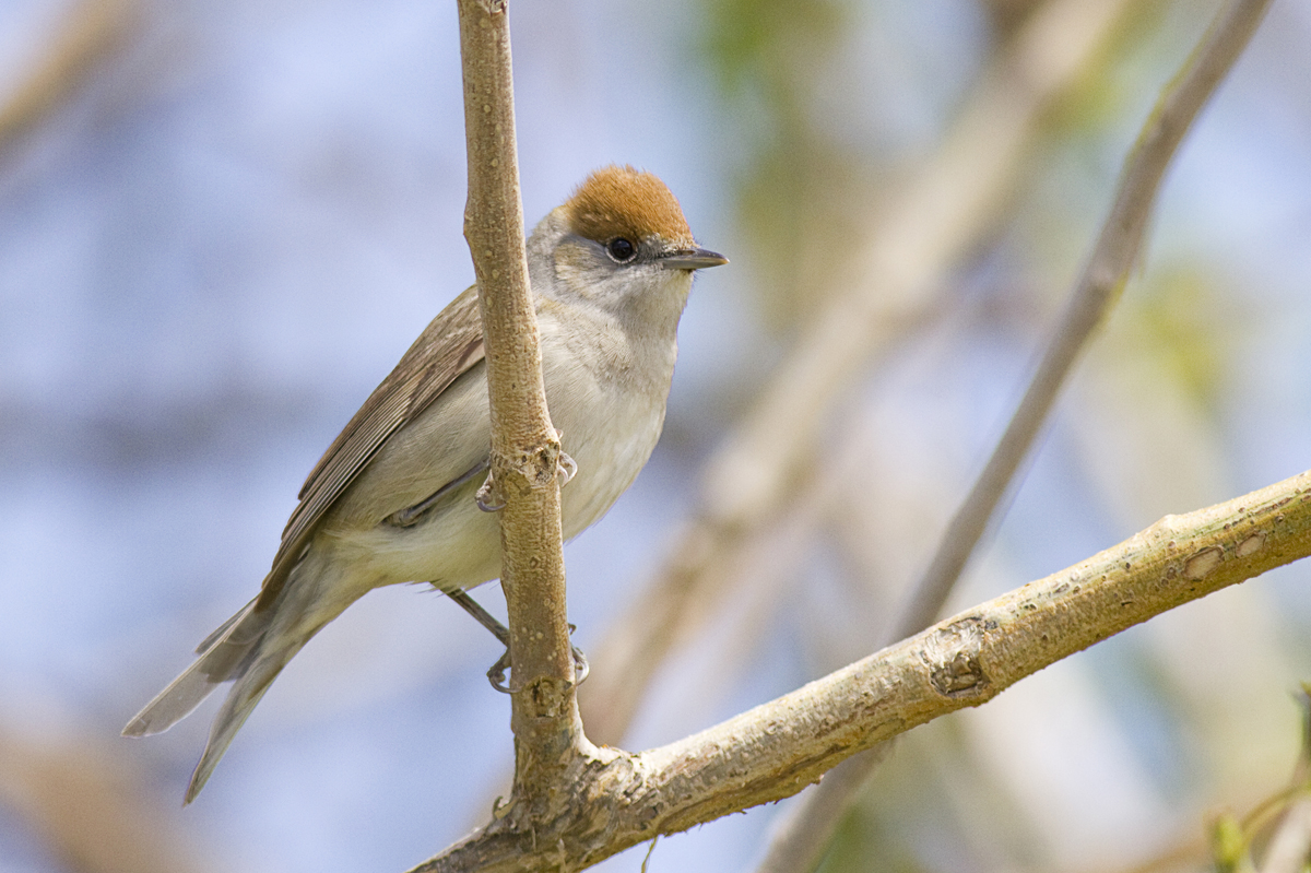 Blackcap - Female